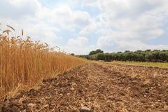 Золотые зрелые уши пшеницы в поле стоковые изображения