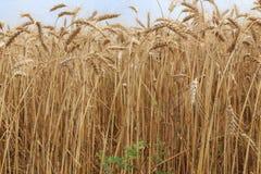 Золотые зрелые уши пшеницы в поле стоковая фотография