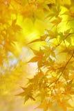 Золотые листья дерева японского клена Стоковые Фотографии RF