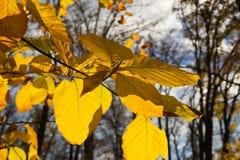 Золотые листья осени Стоковые Изображения RF