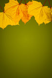Золотые листья с зеленой предпосылкой Стоковая Фотография RF