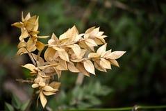 Золотые листья s-веника ` мясника Стоковые Фото