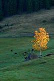 Золотые коровы дерева и пасти восход солнца гор ландшафта осени Стоковые Фото