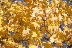 Золотые кленовые листы падения Стоковые Фотографии RF