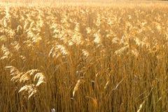 Золотые накаляя тростники Стоковое Фото