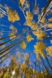 Золотые осины в Санта-Фе Стоковые Изображения