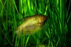 Золотые осфронемовые - тропическая рыба аквариума Стоковые Изображения