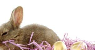 Золотые пасхальные яйца с зайчиком пасхи в клети акции видеоматериалы