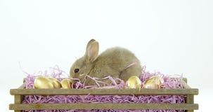 Золотые пасхальные яйца с зайчиком пасхи в клети сток-видео