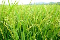 Золотые поля риса Стоковое Изображение