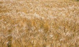 Золотые пшеничное поле, сбор и сельское хозяйство Стоковое Фото