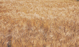 Золотые пшеничное поле, сбор и сельское хозяйство Стоковые Фото