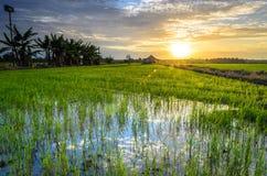 Золотые рисовые поля восхода солнца часа Стоковое Изображение