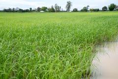 Золотые рисовые поля протягивая далеко как горизонт глаза Таиланд земля полей риса всегда делал стоковые фото