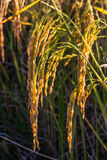 Золотые рисовые поля 2 Стоковая Фотография RF