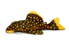 Золотые рыбы аквариума xanthellus Plecostomus L-018 Baryancistrus сома pleco наггета Стоковая Фотография