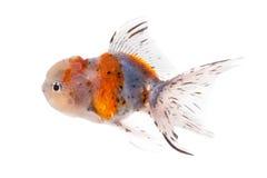 Золотые рыбы изолированные на белой предпосылке Стоковая Фотография RF