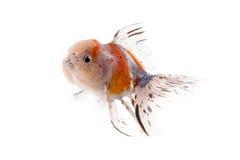 Золотые рыбы изолированные на белой предпосылке Стоковые Фото