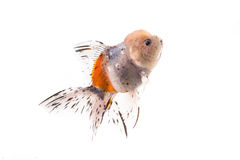 Золотые рыбы изолированные на белой предпосылке Стоковые Изображения