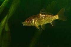 Золотые рыбы, прусский карп Стоковые Изображения