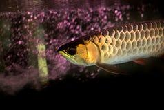 Золотые рыбы arowana или рыбы дракона в садке для рыбы Стоковое Изображение