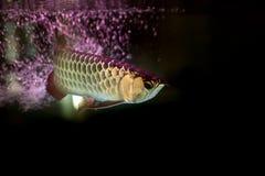 Золотые рыбы arowana или рыбы дракона в садке для рыбы Стоковое фото RF