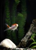 Золотые рыбы, cometa, в танке Стоковое Изображение RF