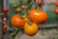 Золотые томаты Стоковое Изображение