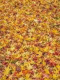 Золотые японские кленовые листы в осени Стоковое Изображение RF