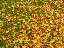 Золотые японские кленовые листы в осени Стоковые Изображения RF