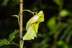 Золотые birdwing куколки бабочки Стоковое фото RF