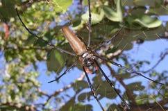 Золотые pilipes Nephila паука ткача шара в сети Стоковые Изображения RF