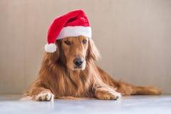Золотые retrievers нося шляпу рождества стоковые изображения