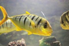 Золотые trevally рыбы Стоковые Фото