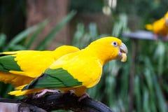2 золотых длиннохвостого попугая на ветви Стоковое фото RF