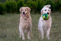 2 золотых retrievers смотря вверх с радостным выражением Стоковая Фотография