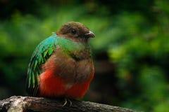 Золот-головые auriceps Quetzal, Pharomachrus, пышная священная зеленая и красная птица Quetzal портрета детали от Колумбии с bl Стоковые Фотографии RF