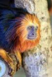 Золот-головый tamarin льва Стоковые Фотографии RF