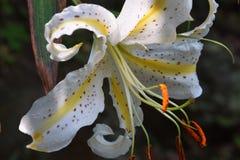 Золот-излучаемая лилия Стоковые Фотографии RF