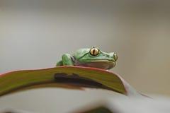 Золот-наблюданная лягушка лист на лист Стоковая Фотография