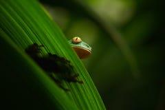 Золот-наблюданная лягушка лист, calcarifer Cruziohyla, зеленая лягушка спрятанная на листьях, древесная лягушка в среду обитания  Стоковое Изображение