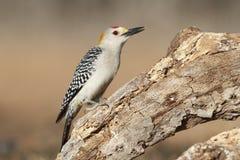 Золот-противостоят Woodpecker - Техас Стоковая Фотография