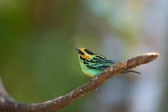 Золот-ушастый Tanager Стоковые Изображения