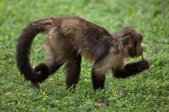 Золот-bellied xanthosternos Sapajus capuchin Стоковое Изображение RF