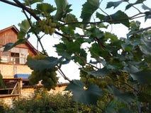 Зреет виноградины стоковое изображение