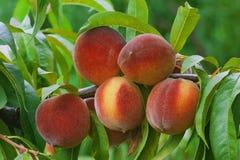 Зрелая ветвь персика стоковое фото