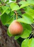 Зрелая груша в саде лета Стоковая Фотография