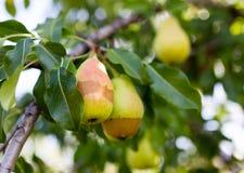 Зрелая груша на ветви дерева в саде Стоковая Фотография RF