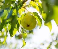 Зрелая груша на ветви дерева в саде Стоковое Изображение