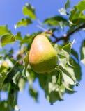Зрелая груша на ветви дерева в саде Стоковая Фотография